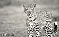 Young Leopard | South Luangwa National Park | Zambia
