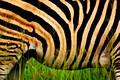 Zebra | Kuti Wildlife Reserve | Malawi